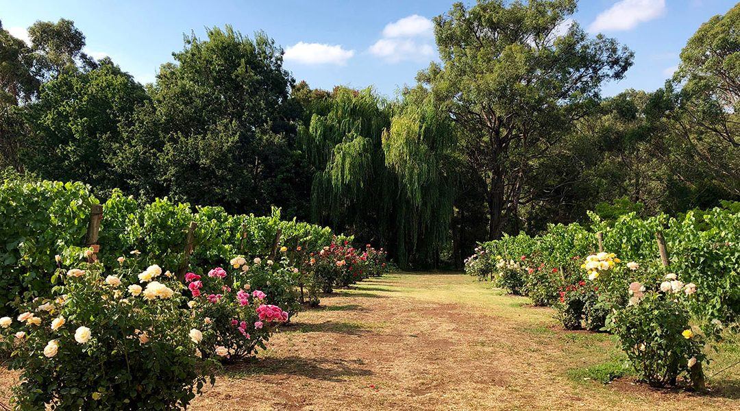 Summer 2019 – Notes from a small vineyard